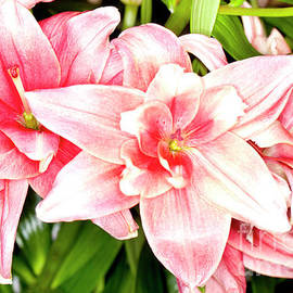 Anthony Totah - Pink Asiatic Lilies
