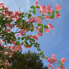 Aimee L Maher Photography and Art - Pink Bougainvillea