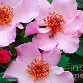 Nancy Mueller - Pink Climbing Roses