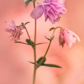 Jaroslaw Blaminsky - Pink columbine flowers