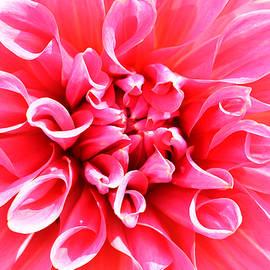 Richard Andrews - Pink Dahlia 2