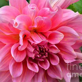 Debby Pueschel - Pink Dahlia