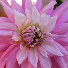 Diana Chase - Pink Dahlia