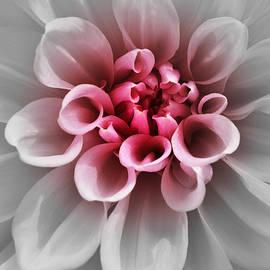 Richard Andrews - Pink Dahlia f2g