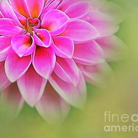 Judi Bagwell - Pink Dahlia