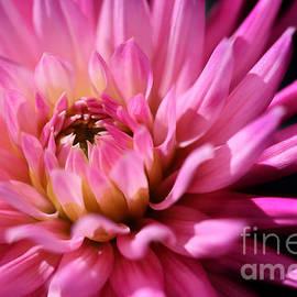 LHJB Photography - Pink Dahlia
