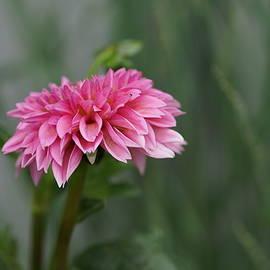 Carrie Goeringer - Pink Dahlia Petals