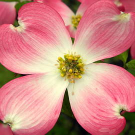 Kathy Barney - Pink Dogwood Series Number 1