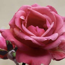 Ana Dawani - Pink rose