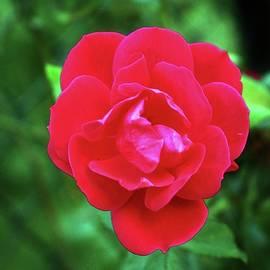 Cynthia Guinn - Pink Fall Rose