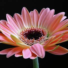 Juergen Roth - Pink Gerbera