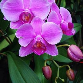 Bruce Bley - Pink Hanging Orchids