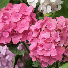 Fotosas Photography - Pink Hydrangea