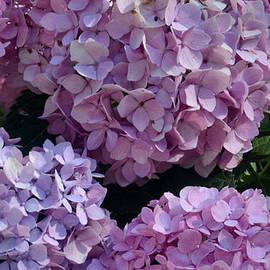Luv Photography - Pink Hydrangea
