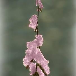 Barbara S Nickerson - Pink Ice