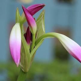 Cynthia Guinn - Pink Lily Bud