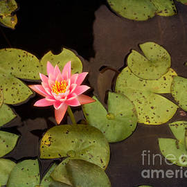 Terry Weaver - Pink Lotus in Lily Pond