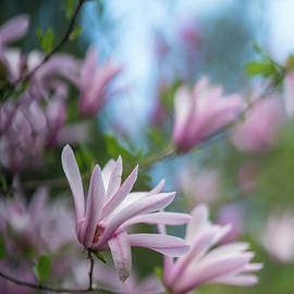 Pink Magnolia Blooms Peaceful - Mike Reid