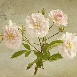 Robert Murray - Pink Musk Rose from Paris
