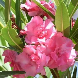 Linda Brody - Pink Oleander I