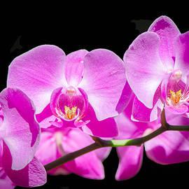 Bruce Pritchett - Pink Orchid Flora
