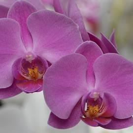 Marjorie Tietjen - Pink Orchids