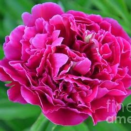 Deanna Cagle - Pink Peony