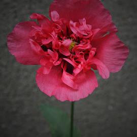 Richard Andrews - Pink Poppy