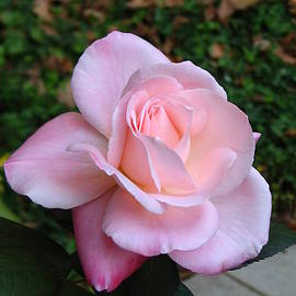 Carla Parris - Pink Rose