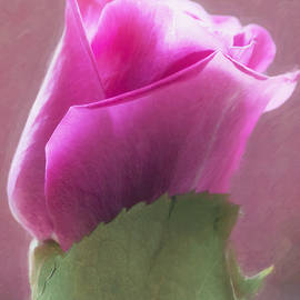 Hal Halli - Pink Rose in Light
