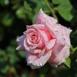 Karen Silvestri - Pink Rose