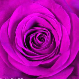 Brenda  Spittle - Pink Rose Macro
