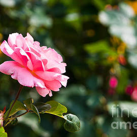 Ms Judi - Pink Rose
