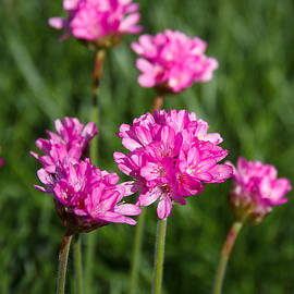 Dave Cawkwell - Pink Sea Thrift