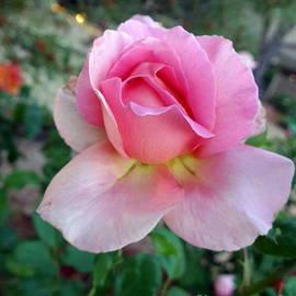 Marlene Rose Besso - Pink Sedona Rose