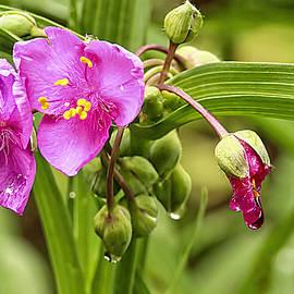 Geraldine Scull   - Pink Spiderwort Drip Drops