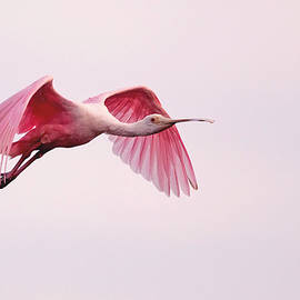 Jack Nevitt - Pink Spoonbill in Flight