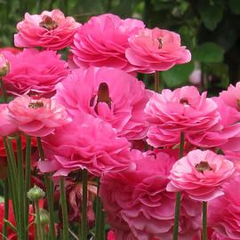 Ana Dawani - Pink spring