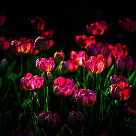 Alexander Senin - Pink Tulip Flowers
