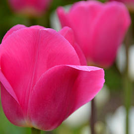 Lena Kouneva - Pink Tulip Portrait