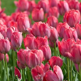 Allan Morrison - Pink Tulips 2