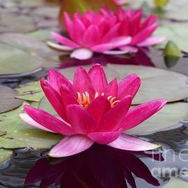 Sharon Patterson - Pink Water Lilies