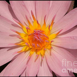 Layla Alexander - Pink Water Lily close up