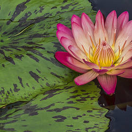 Lindley Johnson - Pink Water Lily