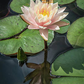 Fiona Craig - Pink Water Lily with Dragonfly