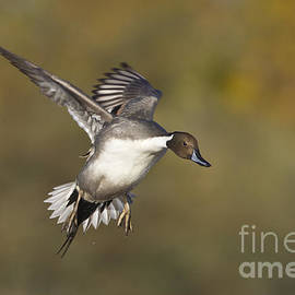 Bryan Keil - Pintail coming in