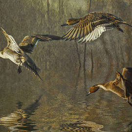 Brian Tarr - Pintail Ducks