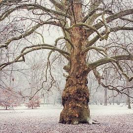 Jenny Rainbow - Platan Tree in Early Winter