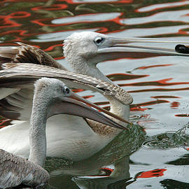MAK Imaging - Playful pelicans