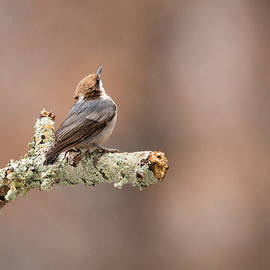 Christy Cox - Please Stop The Rain - Brown-headed Nuthatch